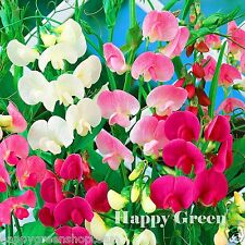 Everlasting Sweet Pea MIX - 25 seeds - Lathyrus Latifolius PERENNIAL