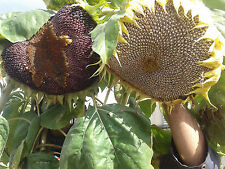 RARE PURPLE sunflower seeds( 20 purple seeds) Russian Giant yellow flowers 10'