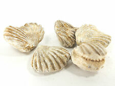 Brachiopod species 5pc's Khouribga Anti Atlas Mtns Morocco (EA6590) fossil shell