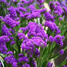 Statice Seeds Premium Purple 250 Seeds Flower Seeds Garden Starts Nursery