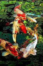 "3.25"" Sunset on Emerald pond with Japanese Koi Fish Art Print STICKER. Aquarium"