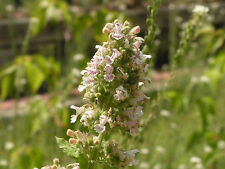 1000 HEIRLOOM CATNIP Nepeta Catara Flower Herb Seeds