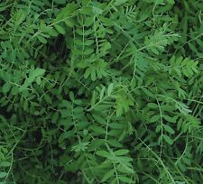 Green Manure Seeds - Winter Tares / Vetch - 500gms