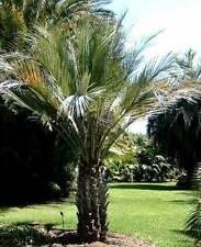 Butia capitata strictior UPRIGHT HARDY JELLY PALM Seeds!