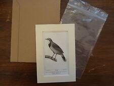 Gravure XIXè - BUFFON / PRETRE 1825 - oiseaux - Plastron noir - passe-partout