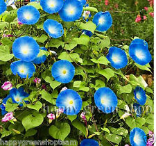 Tall Morning Glory-Heavenly Blue-IPOMOEA PURPUREA - 75 Semi-Fiore