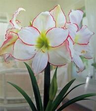 Flower Seeds Garden Seeds Hippeastrum Barbados Lily Flower Seeds Potted 50 PCs