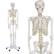 Anatomie Skelett Modell 180cm + Ständer + gratis Staubschutz