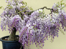 Blue Chinese Wisteria Vine, Wisteria sinensis, Seeds