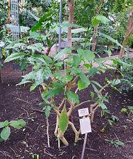 50 Samen Voacanga africana Arbusto Voacanga - Pianta medicinale