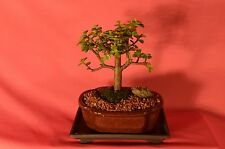 INDOOR BONSAI,MINI JADE,5 YEARS OLD,ACTUAL BONSAI FOR SALE NOT A PHOTO!!!