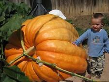 Dill's Atlantic Giant Pumpkin Seeds - Monster Pumpkin!!! - Bulk - 100+ Seeds