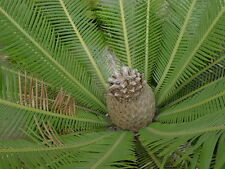 3 graines de CYCAS MEXICAIN (Dioon Edule)G460 VIRGIN PALM SEEDS SEMILLAS SAMEN