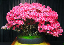 Chinois Redbud / Judas arbre 60 BONSAI SEEDS-Cercis chinensis