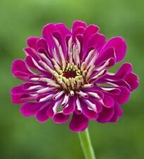 NEW! 35+ GIANT WINE ZINNIA FLOWER SEEDS / LONG LASTIING CUT FLOWERS /DEER RESIST