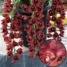 100Pcs Chinese Cymbidium Orchid Indoor Potted Orchid Flowers Plant Seeds
