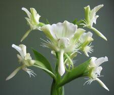 Ground orchids: 2 tubers Pecteilis susannae ORCHIDS species RARE Plants