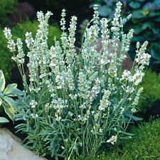 Lavender Seeds - Ellagance Snow-(White) 40 Seeds~ Organic, Untreated Seed.