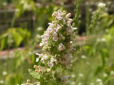 HEIRLOOM CATNIP Nepeta Catara Flower Herb Seeds