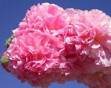 rosa•gefüllte Stockrose•15 Samen/seeds•Alcea rosea•Malve•winterhart•Hollyhock