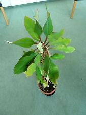 Exotische Pflanze Nepal - leicht zu züchten u vermehren Zimmerpflanze – 12 Samen