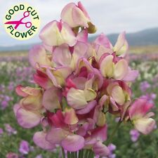 Kings Seeds - Sweet Pea, Spanish Dancer - 20 Seeds