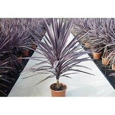 Cordyline Australis Purpurea - Purple Torbay, Cornish Palm - 10+ Fresh Seeds