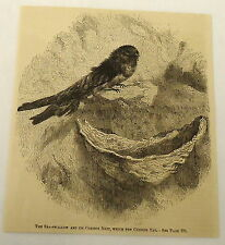 1882 magazine engraving ~ SEA SWALLOW AND ITS NEST