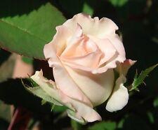 30 Rosensamen champagner Rosa  Nr 73