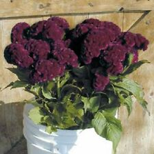 CRAMER'S BURGANDY COCKSCOMB /CELOSIA FLOWER SEEDS