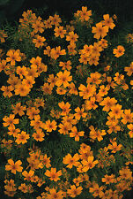 Tagetes tenuiflora Golden Gem (Marigold) Seeds (200) Half-Hardy Annual