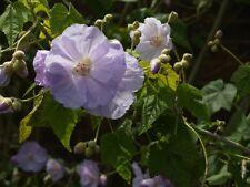 Abutilon vitifolium UNIQUE PERENNIAL Seeds!