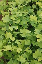 Ginkgo biloba Maidenhair tree (Sent in a 9cm Pot)