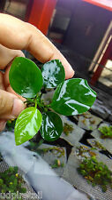 Live Aquarium Plants Anubias Nana - Set of 5 plants