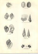 1854 Engravings Reticulated Cancellaria Madagascar Cerithium