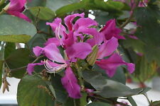BAUHINIA PURPUREA 10 semi seeds Albero Orchidea Orchid tree