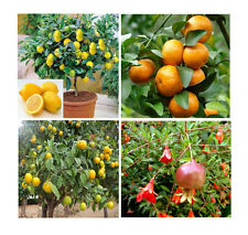 ++ orange lemon tangerine and pomegrante 30 cuttings from our garden in spain ++
