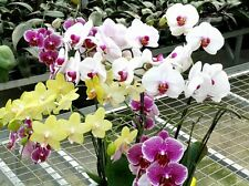 Mix Color Phalaenopsis Flower Seeds Bonsai Plant Butterfly Orchid