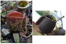 Nepenthes seeds N. ampullaria Spotted Red Lip x ampullaria Black Miracle