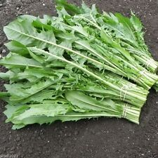 . 2000 Chicory Greens - Catalogna Emerald, Italian Dandelion, Vegetable Seeds !