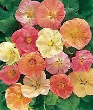 Abutilon Hybridum Bellvue Mix- 50 Seeds