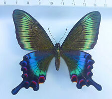 Papilio maackii WEIBCHEN Hybrid ex 4 localities in JAPAN, rare,only 1 time n637