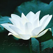 10 Seeds Pure White Lotus Seeds China Rare Fragrance Water Plants