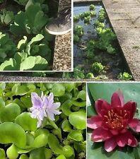 Schwimmpflanzen Set Teichrose winterharte Teichpflanze Gartenteichdeko Teichdeko