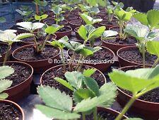 3 Of plants strawberry MARA DE BOIS - La più best strawberry al world