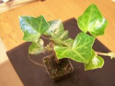 3 English Ivy Plants(Hedera Helix)(Fast growing and climbing evergreen)