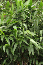 Tiger Grass 100 seeds. Clumping bamboo tropical. Free Post.