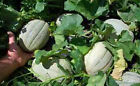 CANTALOUPE, HALES BEST JUMBO, HEIRLOOM, ORGANIC 25+ SEEDS, SWEET AND DELICIOUS