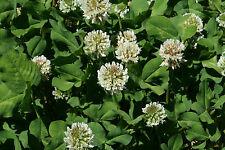 1/2 LB Coated & Inoculated White Ladino Clover Seeds (Food Plot) 400,000 seeds