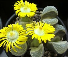 LITHOPS HELMUTII, rare living stones exotic peables succulent rock seed 15 SEEDS